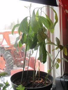 Avocadoplanter